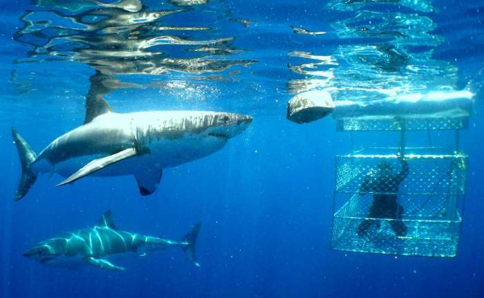 great-white-shark-cage-diving4